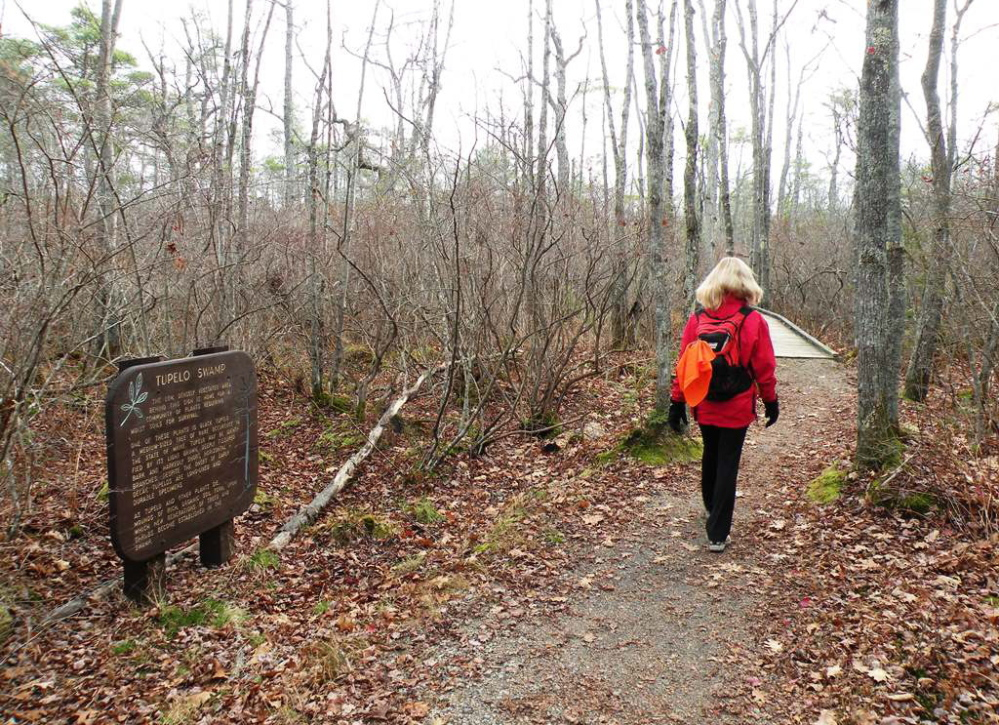 The Saco Beach Loop will take you through a tupelo swamp, populated by tupelo trees that are a source of hard, cross-grained wood for woodworkers and fruit for migrating birds.