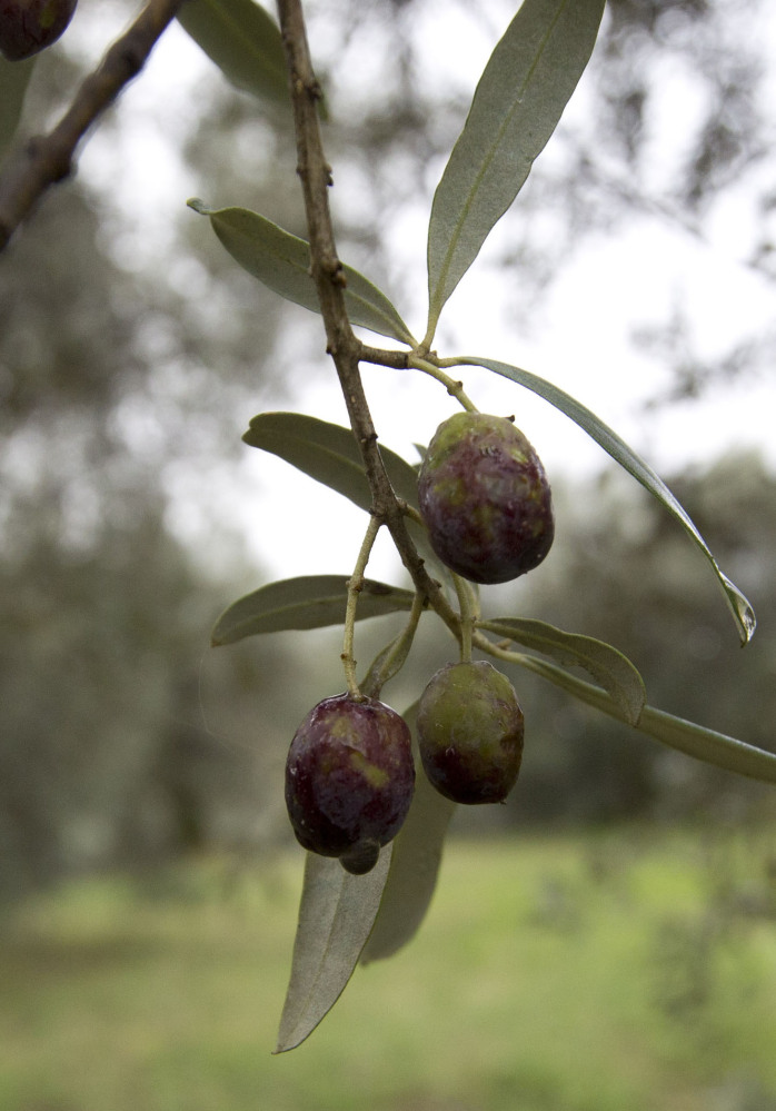 Damaged olives hang last week in one of Augusto Spagnoli's 10,000 trees, some of which are over 1,600 years old.