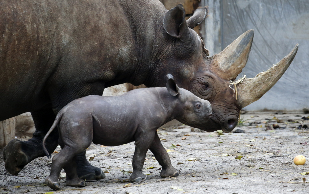 Demand for rhinoceros horns is rising in Asian nations, where some believe the horns can cure diseases such as cancer. As a result, the horns are more valuable than gold.