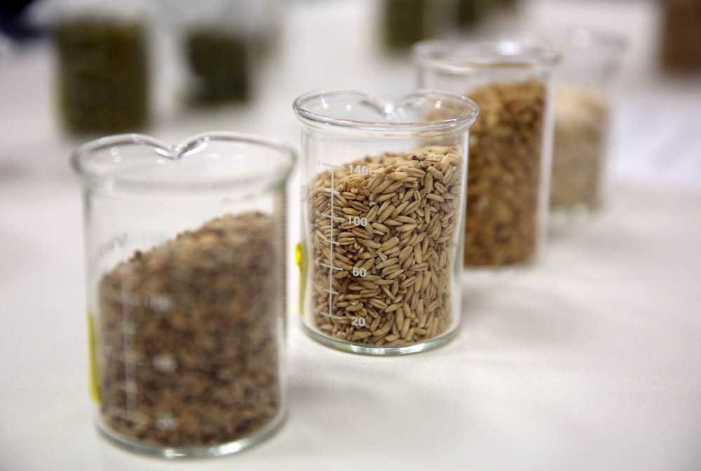 A selection of samples of hops and barley are seen in MillerCoors' Flying Hippo room. The room is the former fermentation laboratory that's been converted into an area that will be used for testing with focus groups and public tours. (Mike De Sisti/Milwaukee Journal Sentinel/TNS)