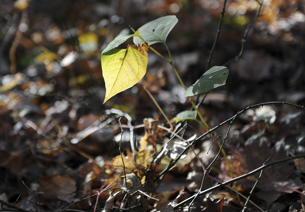 The invasive species known as knotweed grows in a wooded plot of land beside the North Street School in Greenwich, Conn. The Associated Press//Greenwich Time/ Tyler Sizemore