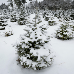 Fresh snow decorates the Christmas trees on the family-run Howell Tree Farm this week in Cumming, Iowa. After several tough years, the nation's growers are happy to see higher prices.