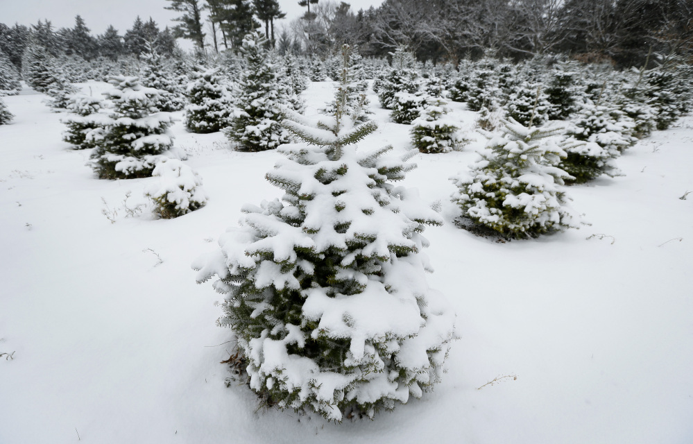 fresh snow decorates the christmas trees on the family run howell tree farm this week