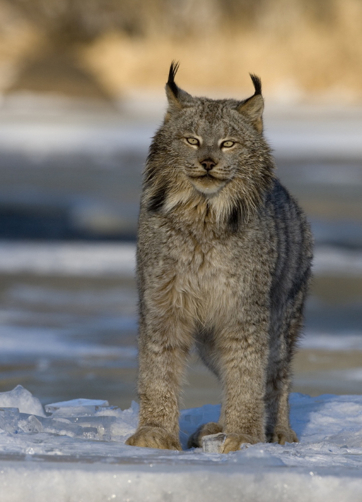 "Environmentalists say federal approval of an ""incidental take permit"" endangers Canada lynx."