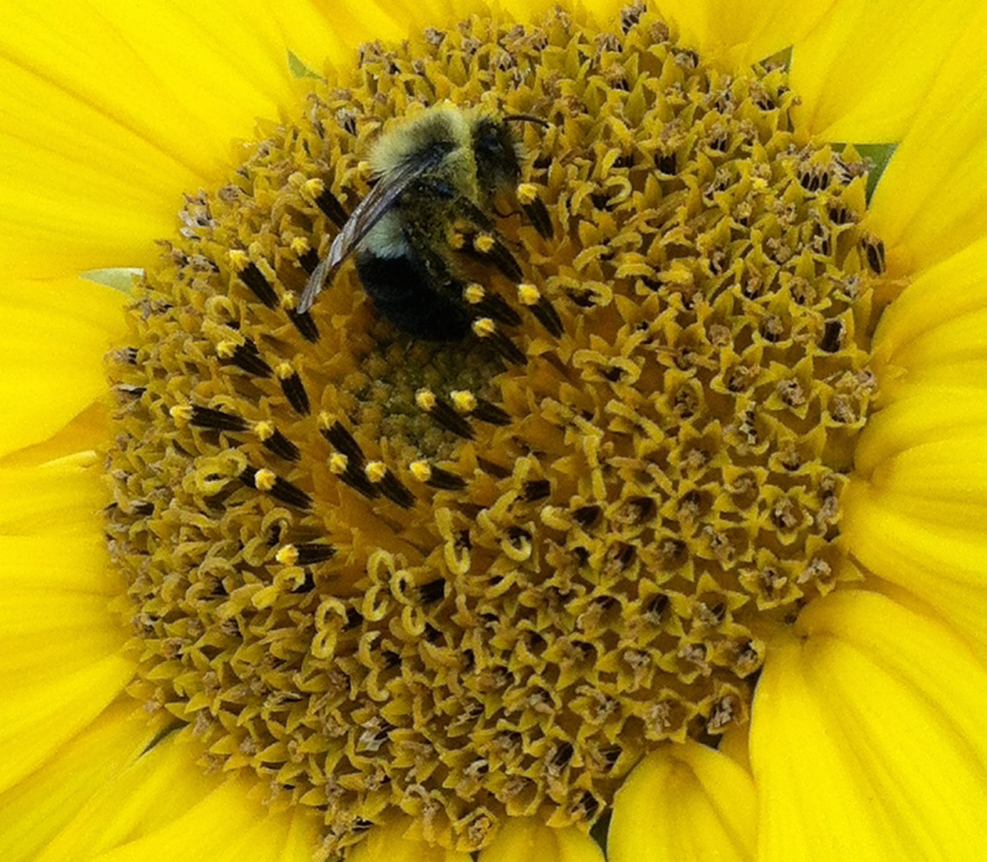 There's still pollen for a busy bee feasting on a sunflower at Claudia Dole Lowe's house on Sebago Lake.