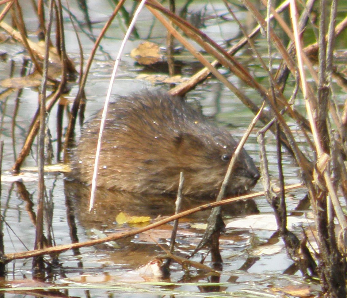 Muskrat Susie or Sam? Well it's hard to get close enough to these critters to know for sure, but Auburn's Laurie McGilvery sure had fun observing it from a distance at Taylor Brook.