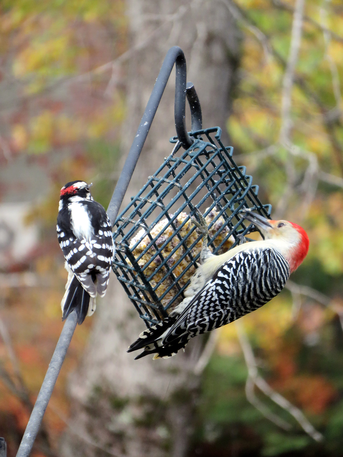 A little downey probably wishes the red-bellied woodpecker would stick to trees while waiting patiently for a serving of suet at Cathy Wilkie Conley's feeder in Alfred.