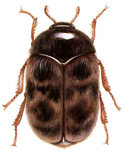 Adult khapra beetles are 1.6 to 3.0 mm long by 0.9 to 1.7 mm wide. They prefer hot, dry conditions and can be found in areas where grain and other potential food is stored, such as pantries, malthouses, grain and fodder processing plants. Wikipedia photo