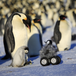A remote-controlled roving camera disguised as a penguin chick in moves among a flock of Emperor penguins in Adelie Land, Antarctica. The Associated Press / Frederique Olivier, Downer Productions