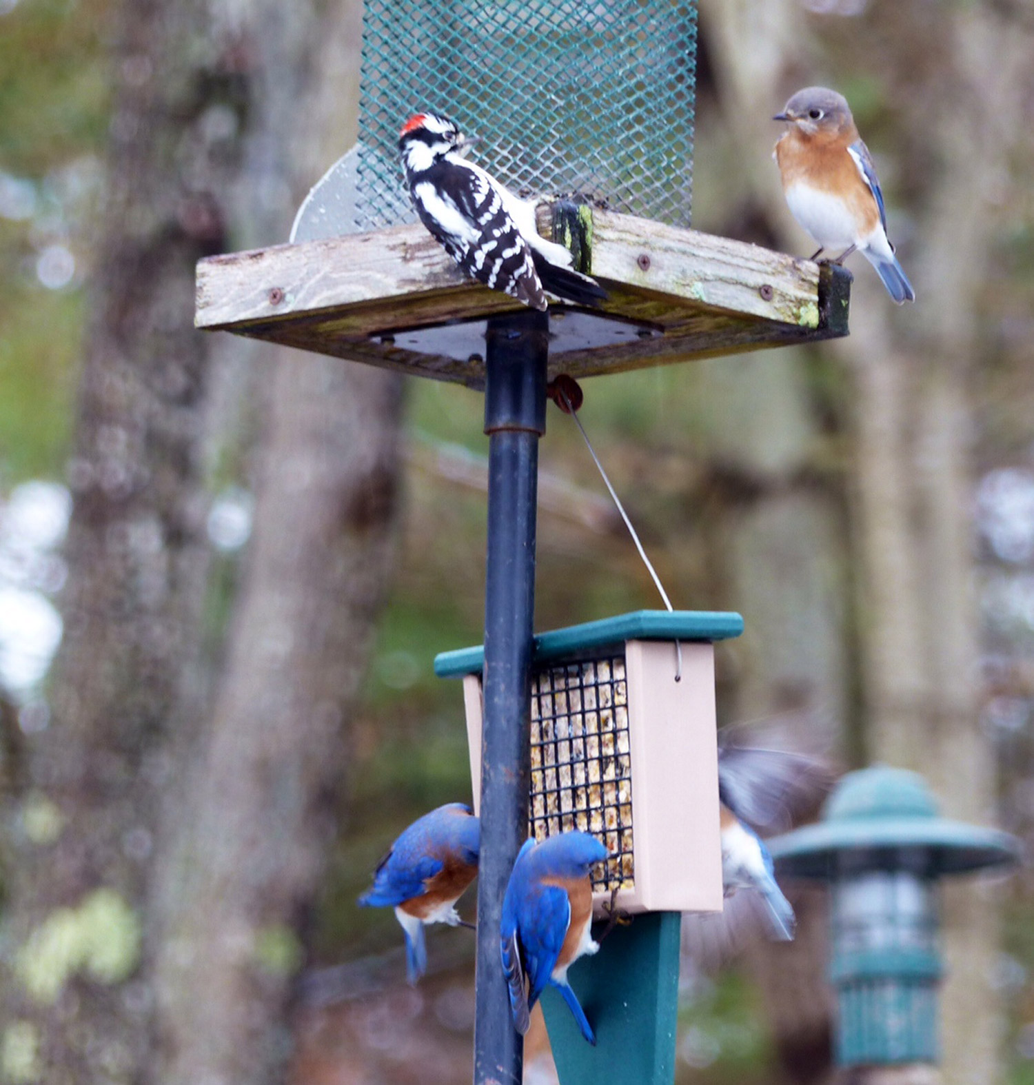 Suet for everyone, provided they wait their turn at the feeding station in Karen Kurkjian's yard in Cape Elizabeth.