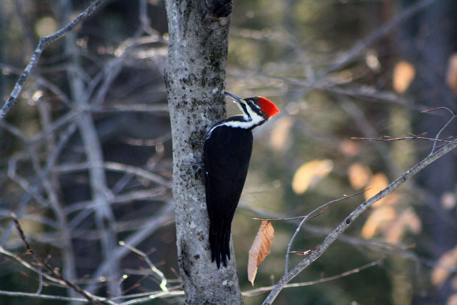 The more carpenter ants this pileated woodpecker eats, the better for Bruce Small, who's happy to have this elusive bird in his Raymond yard.
