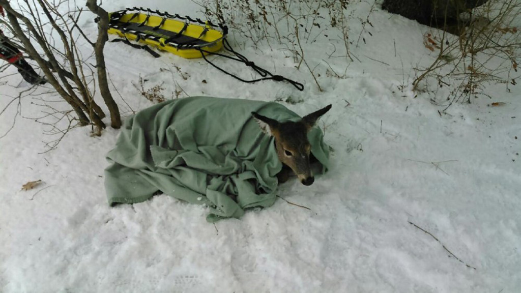A doe is bundled in a blanket after being rescued Tuesday morning from the Kennebec River by members of the Skowhegan Fire Department and state game wardens.