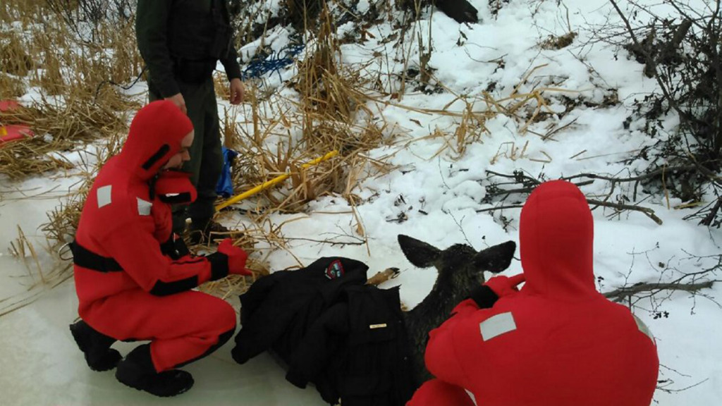 Crews from the Skowhegan Fire Department's water rescue team and state Department of Inland Fisheries and Wildlife tend to a deer they saved from the thin ice on the Kennebec River in Fairfield on Tuesday morning.