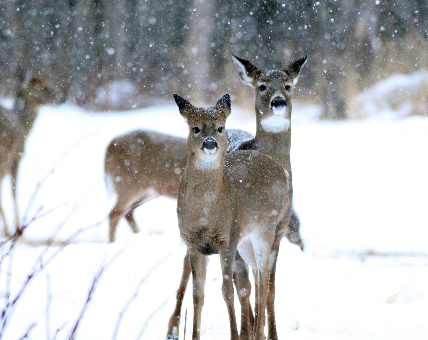 Winter wonderland delight: These doe-eyed deer gathered in the Rangeley snow where Jim Knox was hunting with just a camera.