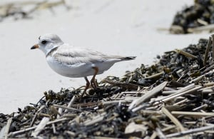 A piping plover in Old Orchard Beach last June.