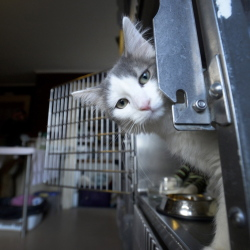Spice, the kitten found in a duffel bag outside a Portland thrift shop, is flying home to Albuquerque today. Two employees from the  Animal Refuge League will accompany her.