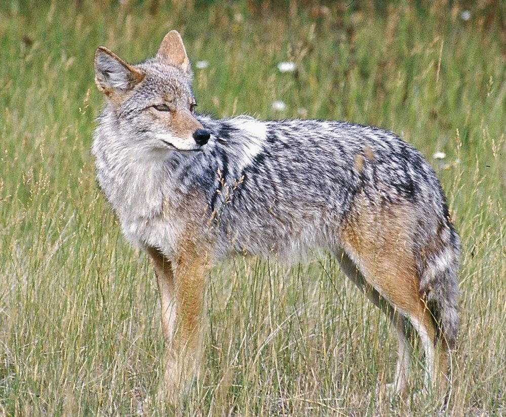 Year-round coyote hunting continues in California, but not for prize money.