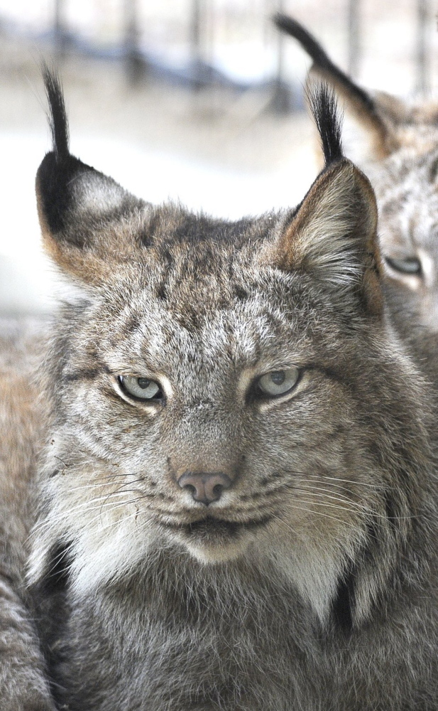 Although a threatened species, more lynx have turned up in Maine traps this year, with just one reported fatality.