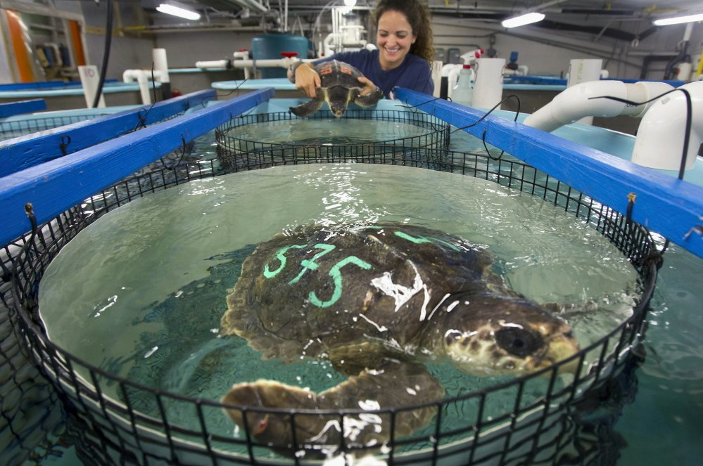 Chilled New England Sea Turtles Warmed In Texas The