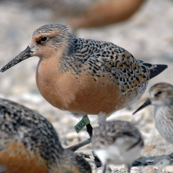 "Populations of the red knot are down as much as 75 percent since the 1980s, officials say. The birds are entitled to new federal protections with their ""threatened"" status."