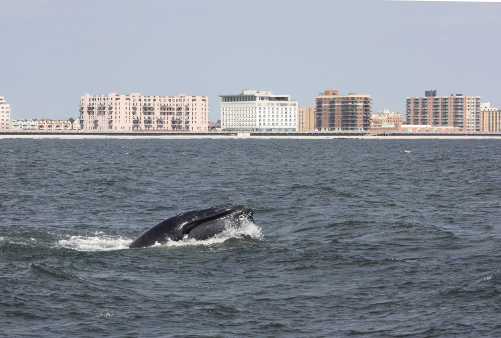A humpback whale surfaces in the Atlantic Ocean just off the Rockaway peninsula near New York City.