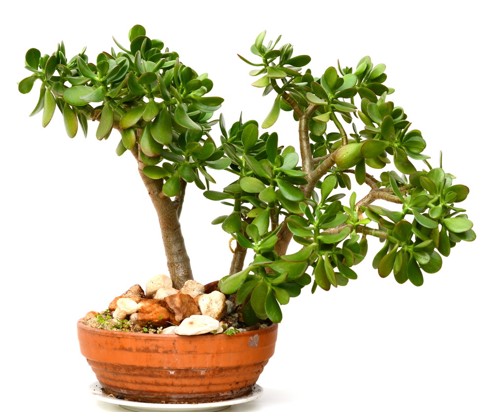 Jade plant: Stunning and easy to care for.