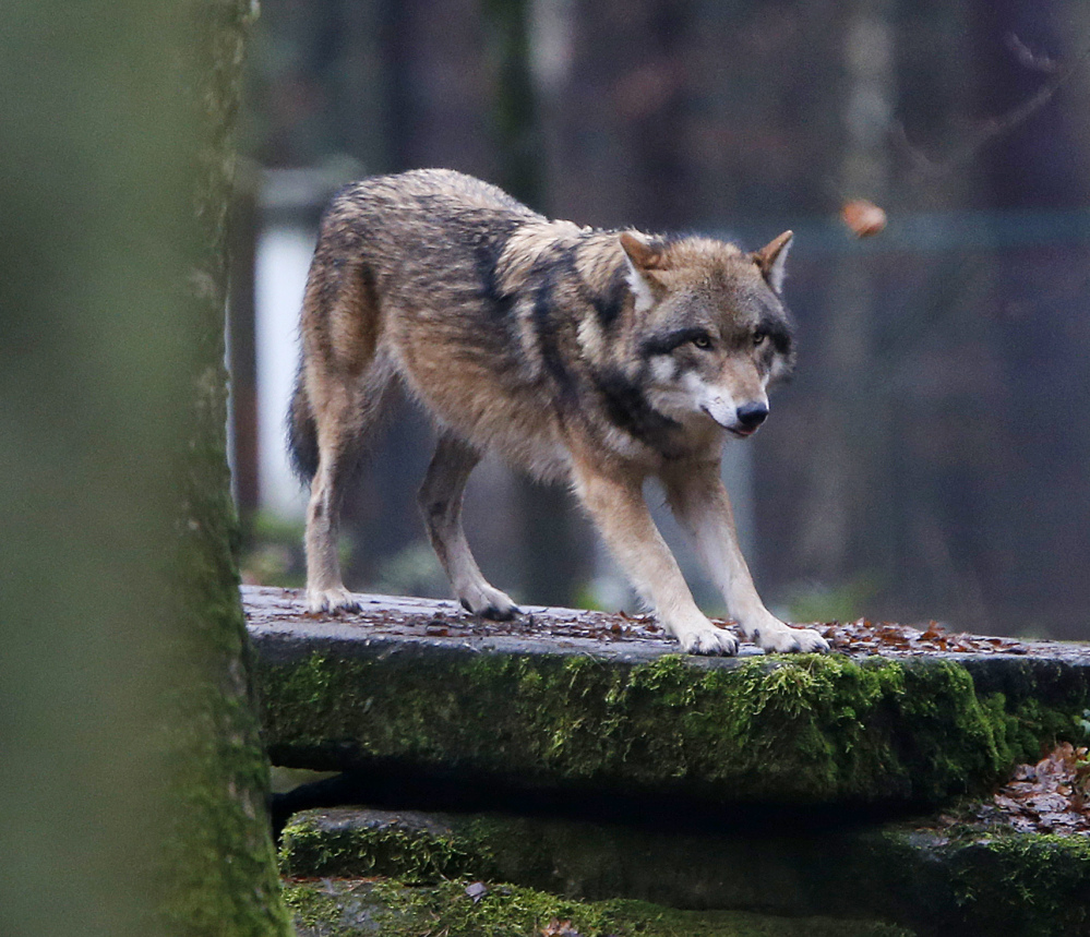 A European wolf stands on a rock in a wildlife park in Hanau, Germany. Many large carnivores are living in human-dominated areas of Europe, too, scientists say.