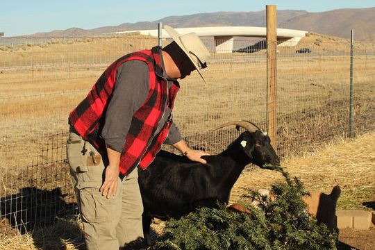 Vince Thomas, founder of Goat Grazers, pets his goat Daisy as she eats a Christmas tree in Reno, Nev., on Tuesday. He said discarded trees pose a fire hazard in the dry area.