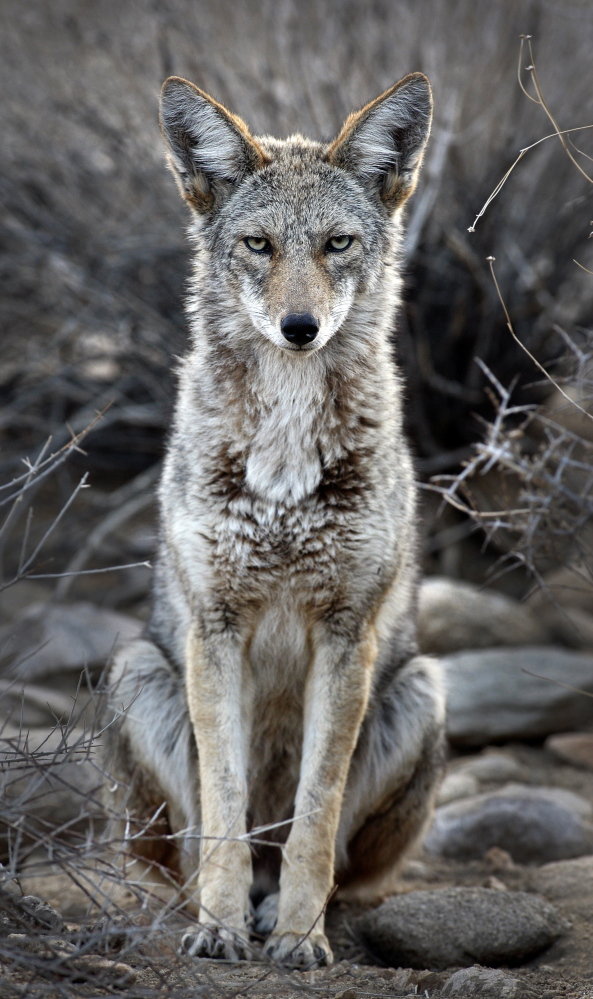 "Coyotes are proliferating across the West, and nothing seems to halt their population growth. But conservationists and environmentalists are challenging eradication practices that they call ""cruel."""