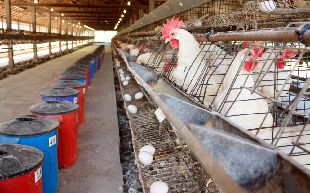Starting Jan. 1, California will require at least 67 square inches of living space for caged hens – 8 inches square.