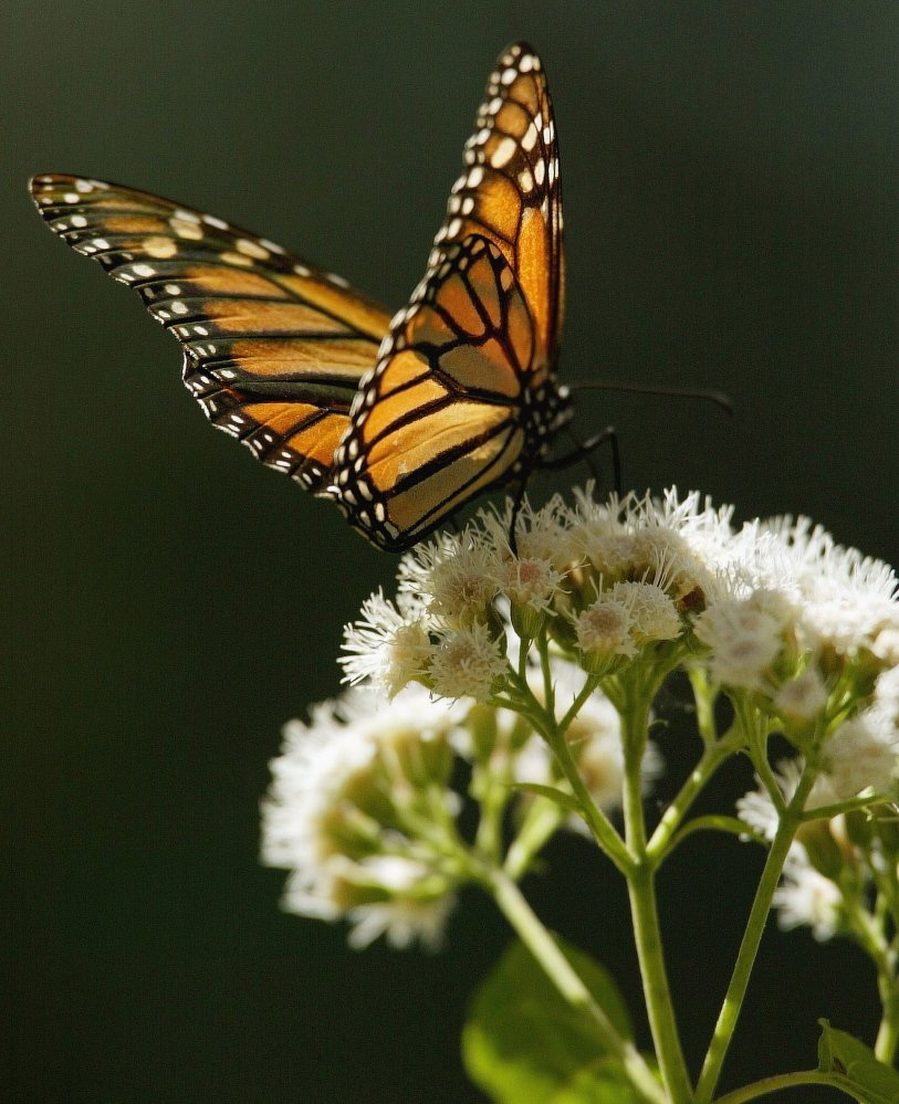 A monarch butterfly sits on a flower in the El Rosario butterfly sanctuary in Mexico. Scientists believe more have migrated from Canada to Mexico than last year.