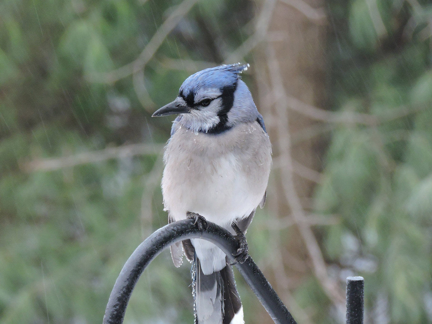 This blue jay stayed perched on the feeder in Kristen Holmberg's Kennebunk yard, seemingly unfazed by the rain.