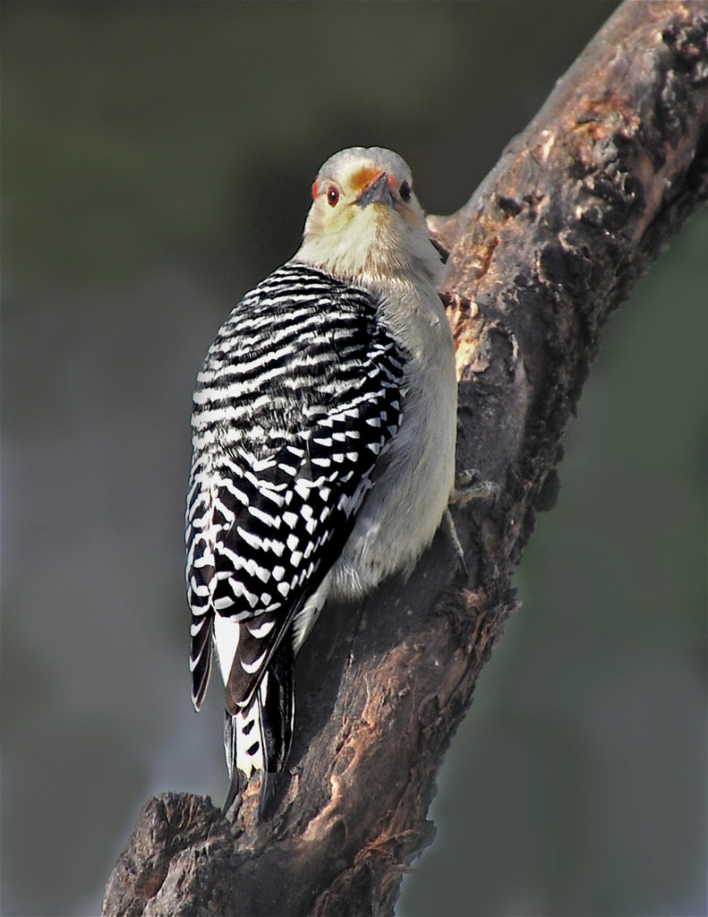 When Eric Bartlett published a bird book back in 1980, the red-bellied woodpecker's range didn't even extend into Massachusetts, but this lovely female, skittish as she may be, has since taken to visiting his South Casco yard, where she is most welcome.