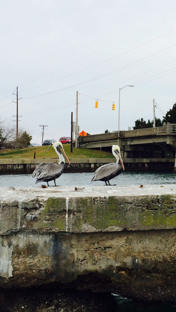 Pelicans at rest near a bridge overpass.