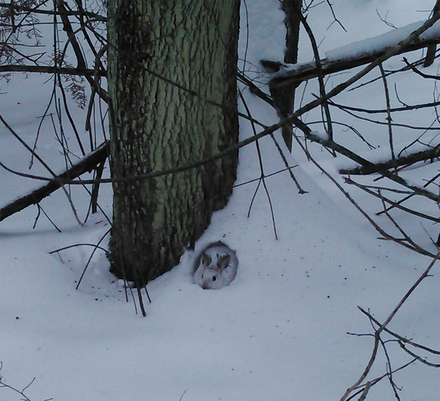 At least there's no Cooper's hawk in the branches above this hare that's not so well hidden that Greenwood's Michael Lariviere couldn't see it.