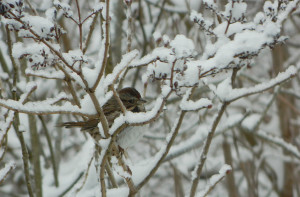 Unfazed by snow, a sparrow and blue jay look like bookends in these photos by Susan Olsen of Portland. But what they wouldn't give for a feeder.