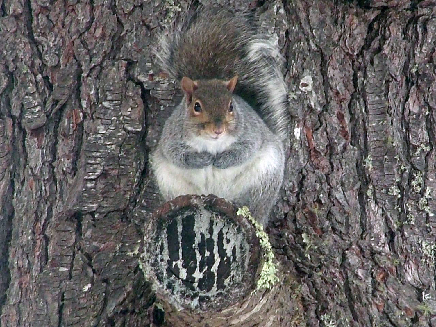 Judging from its girth, this squirrel must have an ample supply of nuts in that tree near Heidi Reed's home in Waterboro.