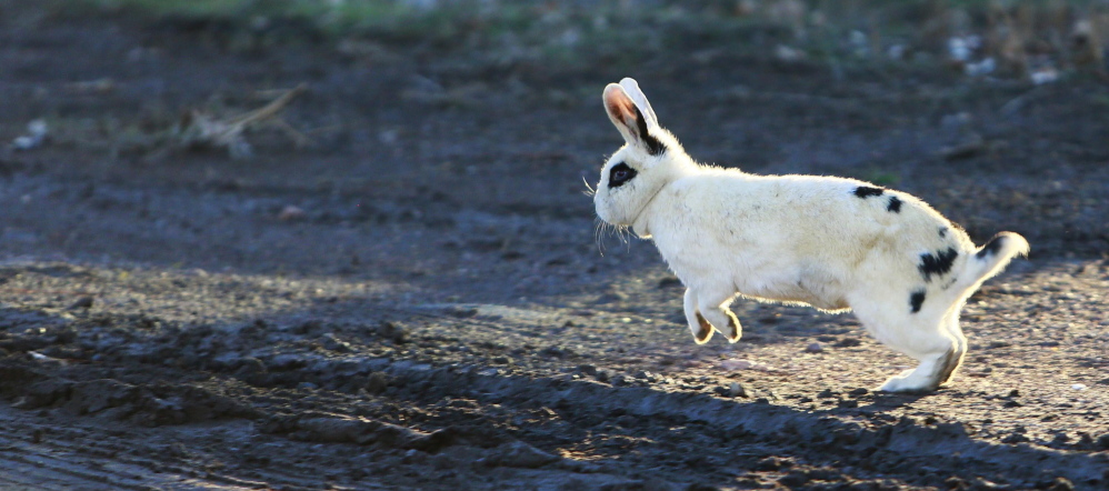 A rabbit runs along a dirt road behind Harry Carman's home in Culver, Ore. Carman says the rabbits have become a nuisance, but there is little he can do.
