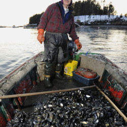 Phil Gray heads back to South Harpswell with a boatload of mussels in this photo from 2009. His supply of wild mussels is way down this year because most of them have been eaten by invasive green crabs.
