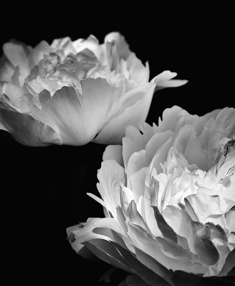 """White Peonies"" by Kerry Michaels"