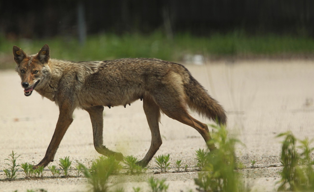 "A mother coyote strides through a vacant lot in downtown Chicago last June. ""Once they got here, they experienced higher reproduction, more food, and so now they have no reason to leave,"" said researcher Stan Gehrt, who estimates that at least 2,000 coyotes live in Chicago."