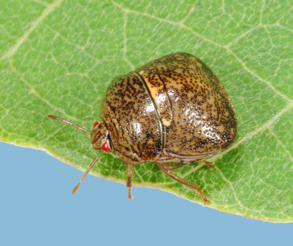 The invasive kudzu bug was first spotted in Georgia 5 1/2 years ago. Since then, the destructive insect has spread 400 to 500 miles north and west, scientists say.