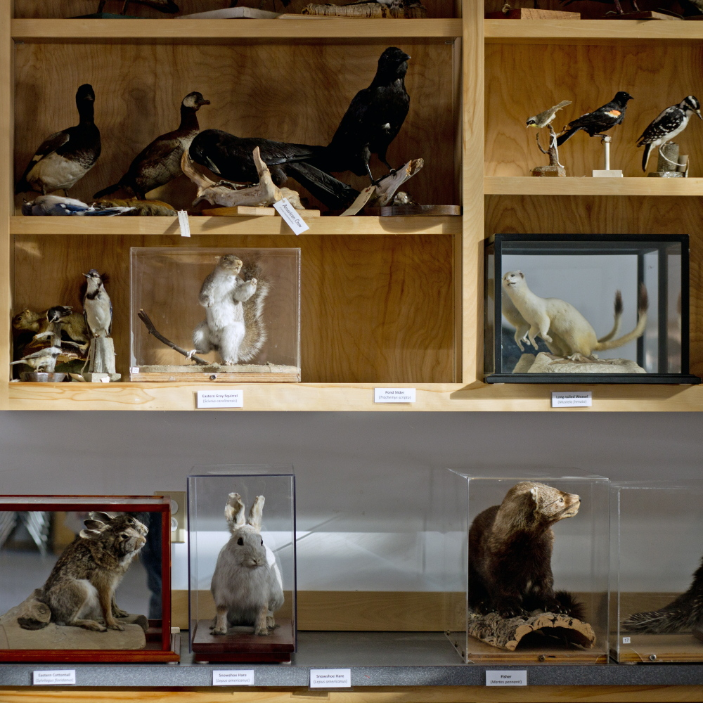 Two empty spots remain where a pond turtle and a snowshoe hare are supposed to be at the Maine Audubon's mounted collection in Falmouth on Wednesday, after three items from its mounted collection were stolen.