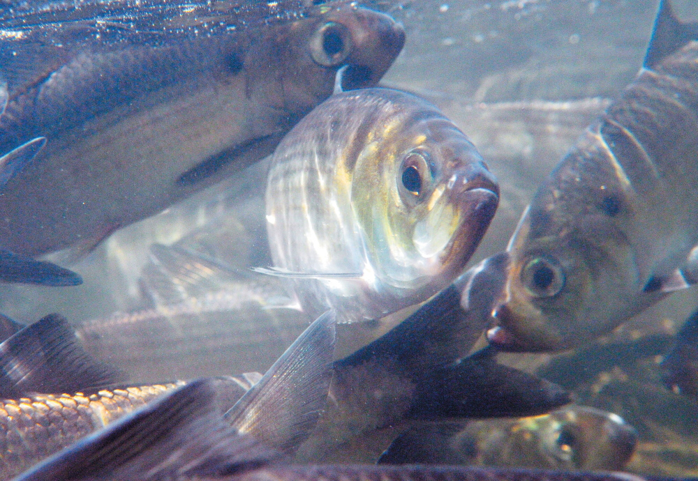 For now, states and the Atlantic States Marine Fisheries Commission will continue to manage the river herring fishery.