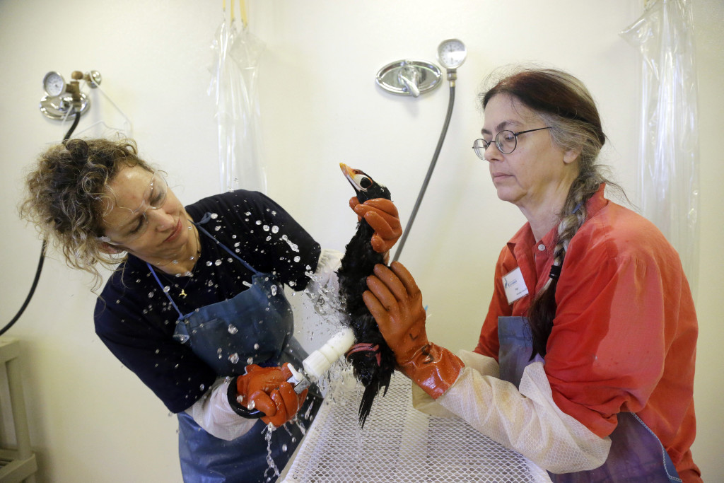 Volunteers Susan Kaveggia, left, and Susan McCarthy wash a male surf scoter at the International Bird Rescue facility in Fairfield, Calif.  The Associated Press