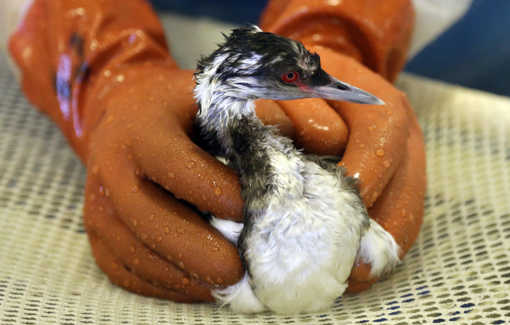 A horned grebe is washed at the International Bird Rescue facility Tuesday  in Fairfield, Calif. The Associated Press