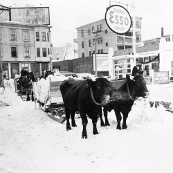 Oxen hauling snow from in front of the Colonial Esso on Washington Avenue in Portland around 1938.