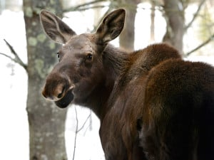 Deep snow and brutally cold temperatures can be challenging for Maine's moose population.