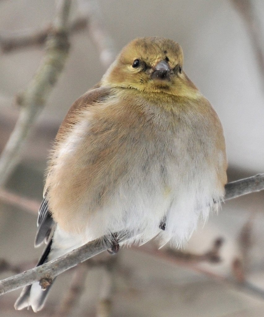 A male goldfinch is fluffed up, having deliberately trapped air within his feathers to help insulate himself against the very cold weather in Erik Bartlett's Casco yard. So fluffed is he that his talons don't show.