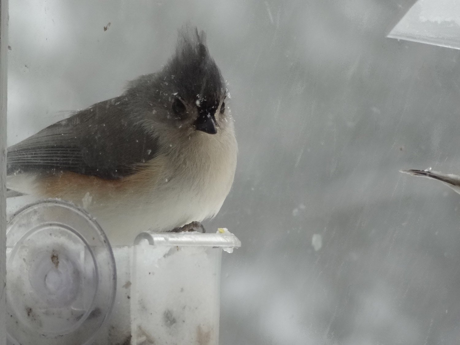Falling snow doesn't seem to faze this tufted titmouse in Carol McCurry's Westbrook yard.